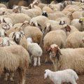 اخبار الفرات -مديرية الزراعة تعالج مشاكل تراجع الثروة الحيوانية وايجاد الحلول المناسبة