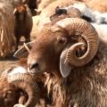 معلومات جديدة حول الثروة الحيوانية بالرقة