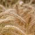 مقابلة مع مزارعين عن مركز استلام الشعير والحبوب الواقع شمال الرقة