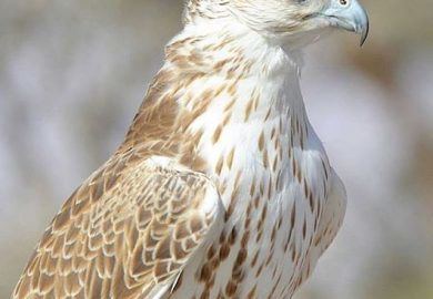 85 – تربية الطيور الجارحة