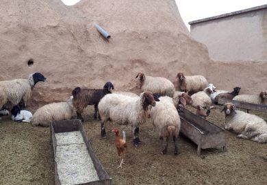 الثروة الحيوانية في دير الزور مع مراسلنا باسم عزيز