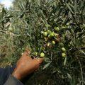 اليات عصر الزيتون واسباب تميز معاصر الرقة مع خبيرة التنمية الزراعية منار التركي