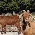 أهمية الماعز الشامي مع خبيرة التنمية الزراعية منار التركي