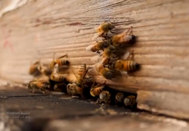 تربية النحل في الرقة