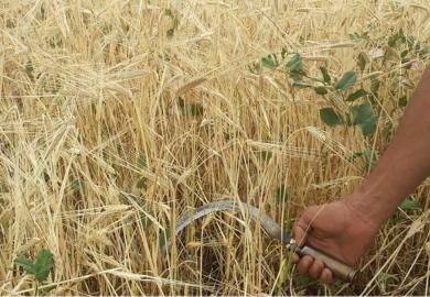 صناعة الفريكة في الرقة مع خبيرة التنمية الزراعية منار التركي