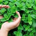 أهمية نبتة النعناع وفوائدها وكيفية زراعتها بالمنزل